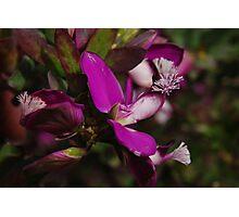 Polygala myrtifolia 'Grandiflora' / Sweet Pea Shrub Photographic Print