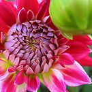 Dahlia - PINK by Orla Cahill Photography