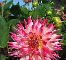 Dahlia Perfection by Orla Cahill Photography