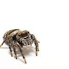 Jumping spider on a white background by Richard Majlinder