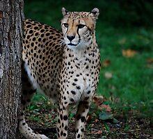Cheetah  Pride  by Michelle BarlondSmith