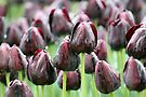 Tulip Rain by yolanda