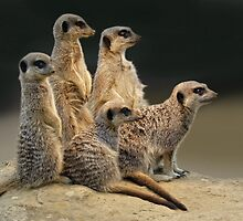 Marvellous Meerkats by Krys Bailey