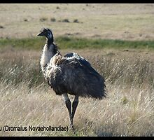 The Emu by ariete