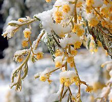 Wattle Snow by Matthew Smith