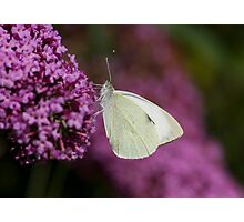 Large White Butterfly Photographic Print
