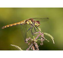 Common darter. Photographic Print