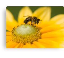 Honey bee washing his face! Canvas Print