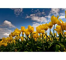 Yellow Tulips on a beautiful day Photographic Print