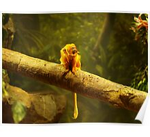 Golden- Lion Tamarin at Play Poster