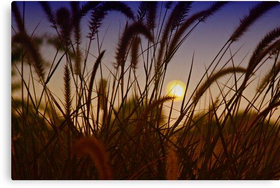 Sunset Through Grasses by mrthink