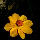 yellow flower macro by jayantilalparma