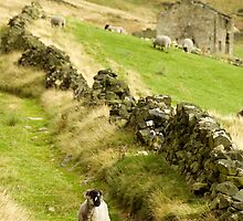 Hill Sheep by Jude Gidney