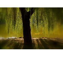 Willow in the sunset Photographic Print