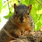 Fox Squirrels by lorilee