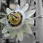Passion Flower 1 by JillyPixie