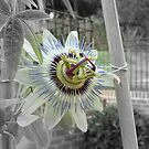 Pasion Flower 2 by JillyPixie