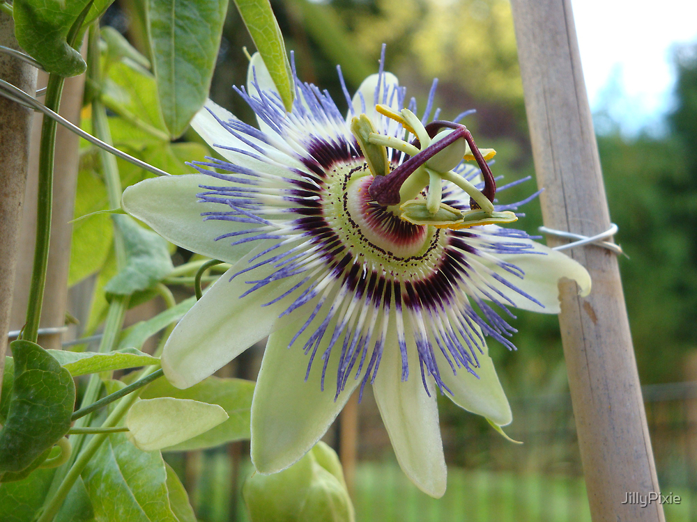 Passion Flower full colour by JillyPixie