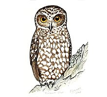 Boobook Owl Photographic Print