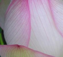 Lotus sublime Sticker