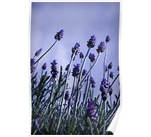 Lavender Bloom Poster