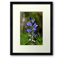 Wild Blue Lupin Framed Print