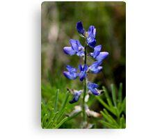Wild Blue Lupin Canvas Print