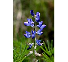 Wild Blue Lupin Photographic Print