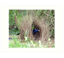 Sattin Bowerbird in his Bower. Taken Seaham area. Art Print