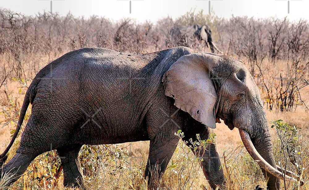 """GREAT TUSKERS OF THE """"KRUGER NATIONAL PARK"""" by Magriet Meintjes"""