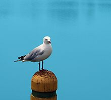Seagull  by Fiona Allan Photography