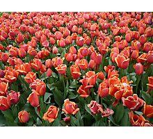 Tulips 1 Photographic Print