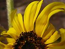 minature sunflower by millymuso