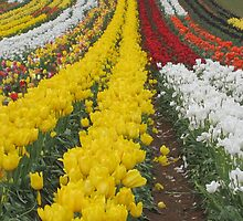 Tulips Tulips Everywhere by glennmp