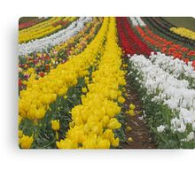 Tulips Tulips Everywhere Canvas Print