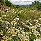 Daisies in the meadow by DIANE  FIFIELD