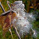 Milkweed Pod by H A Waring Johnson
