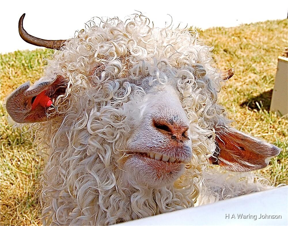 Sheep-ish Grin by H A Waring Johnson