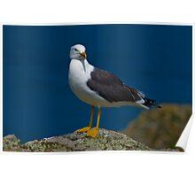 Great Blackbacked Gull Poster