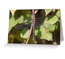 Migrant Hawker Greeting Card