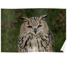 Portrait of a Siberian Eagle Owl Poster