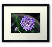 *'BUTTERFLY BLUE' PINCUSHION PLANT* Framed Print