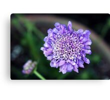 *'BUTTERFLY BLUE' PINCUSHION PLANT* Canvas Print