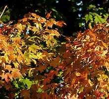 First Leaves of Fall (Virginia) 2009 by BCallahan