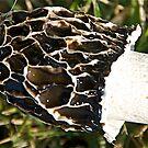 Beautiful Mushroom by H A Waring Johnson