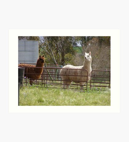 Shearing Time! for two Alpacas. Art Print