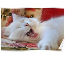 Cute Portrait Of A Yawning Van Cat Poster