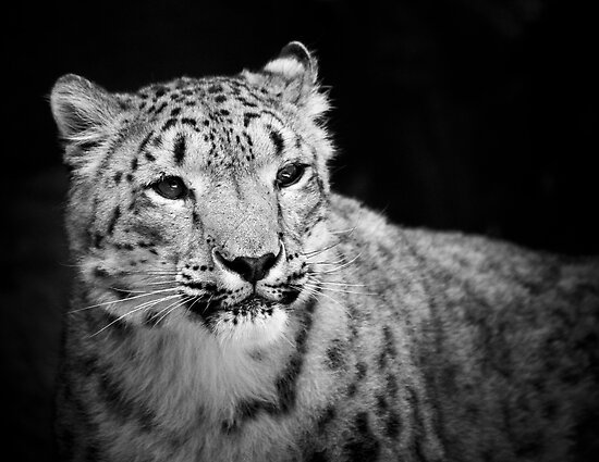 Snow Leopard by SD Smart