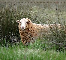 Brown  Sheep  by solena432