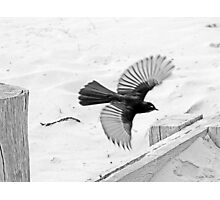 Willy Wagtail Photographic Print